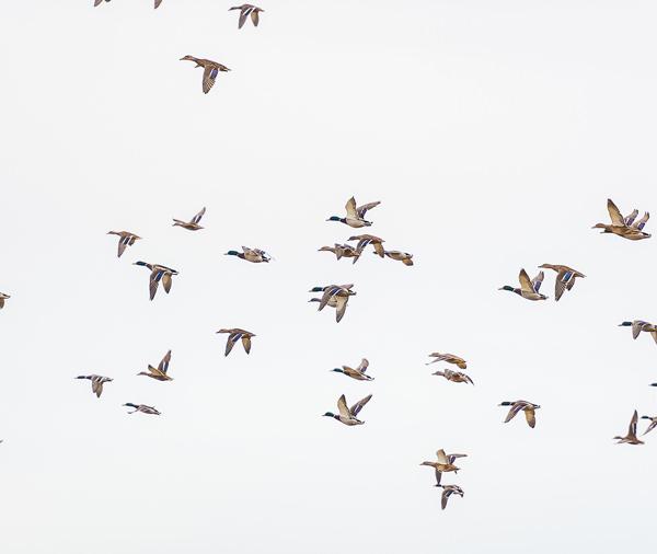duck-flighting